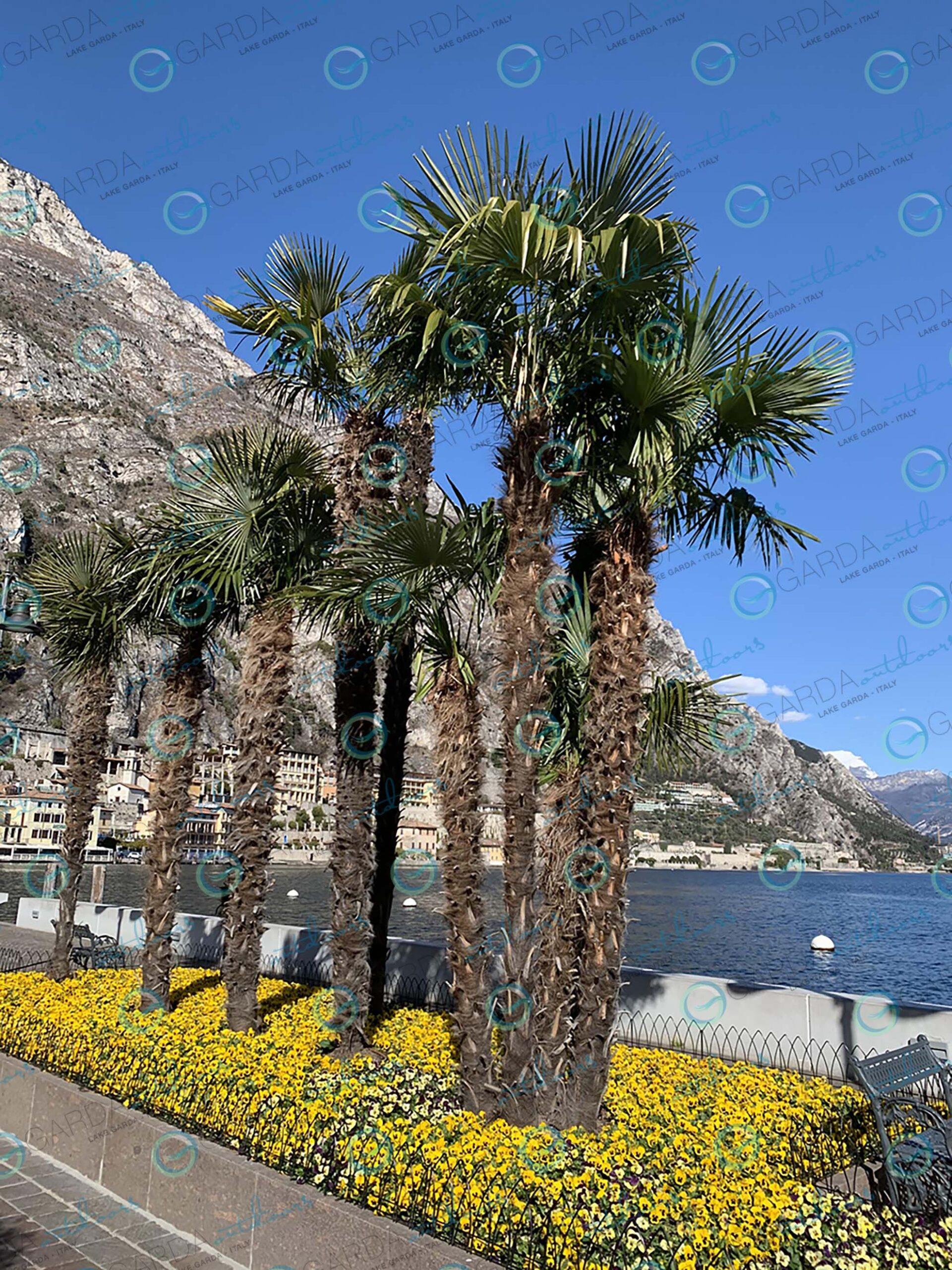 Limone sul Garda - palms and flowers