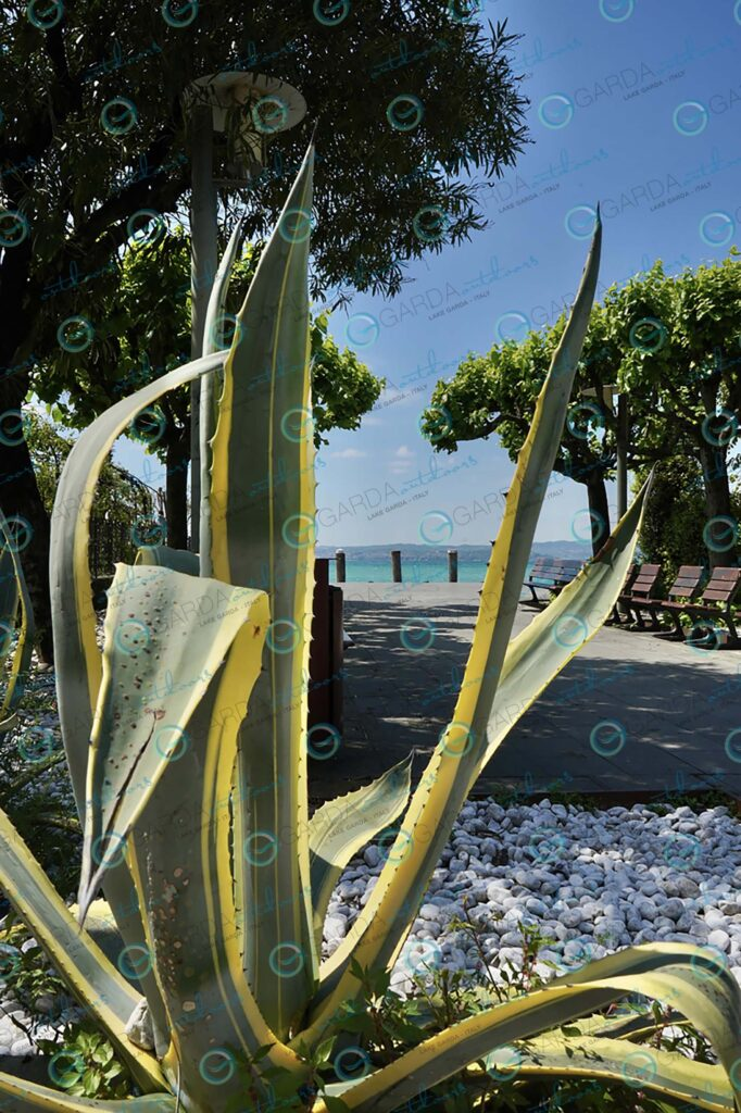 Sirmione – Agave plant