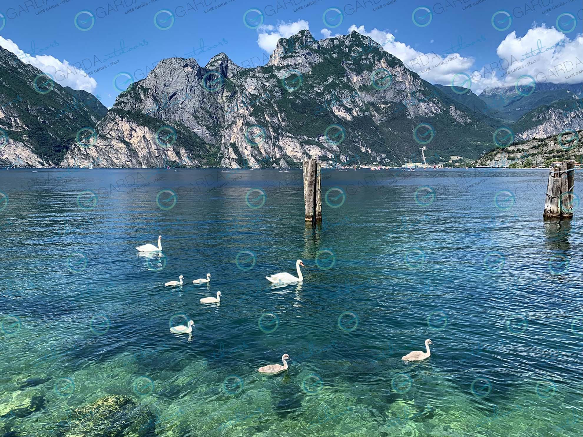 lake Garda swans